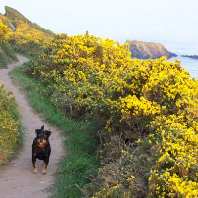 A dog walking the coast path with yellow gorse